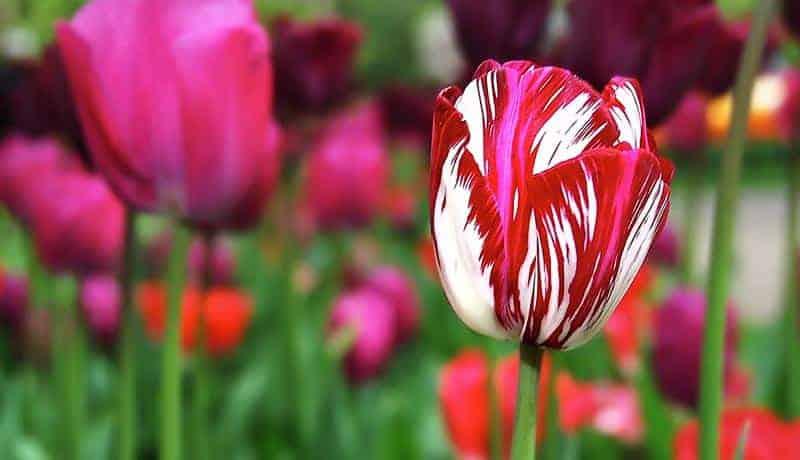 حباب گل لاله ویروس